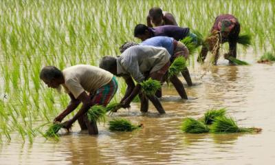 নরসিংদীতে আমন ধান রোপণে ব্যস্ত কৃষকেরা