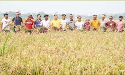 গোপালগঞ্জের মুকসুদপুরে কৃষকের ধান কেটে বাড়ি পৌঁছে দিল ছাত্রলীগ নেতা-কর্মীরা