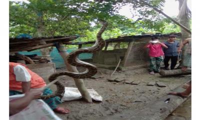 মোংলায় বসত বাড়ি থেকে অজগর উদ্ধার