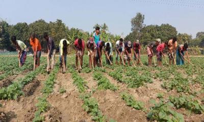 দুর্গাপুরে আলুর নিবিড় পরিচর্যায় ব্যস্ত কৃষক