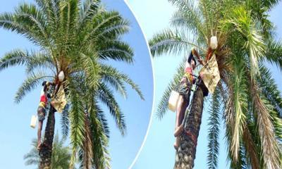 শীতের আগমনী বার্তায় চলছে খেজুর রস সংগ্রহের প্রস্তুতি