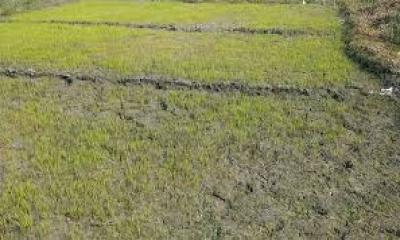 বন্যার কবলে আমন-আউশ,শীতে শঙ্কায় বোরো